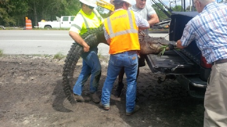 Alligator Removal on I-75